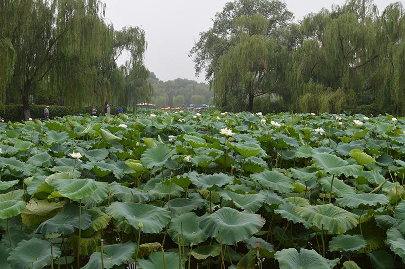 大明湖荷花池
