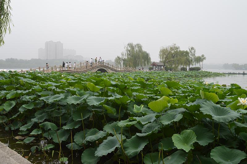 大明湖荷花风景